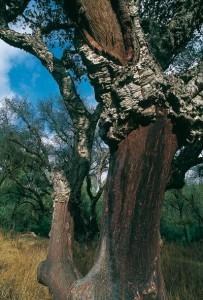 albero di sughera