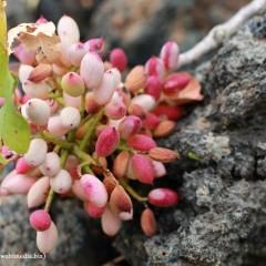 A' Frastuca: il pistacchio di Sicilia.
